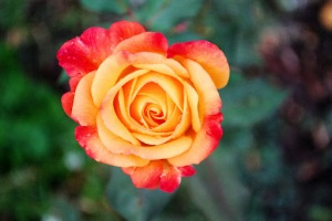 Salsa Rose - The Last Rose of Summer
