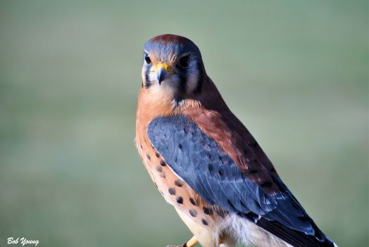 17April2013_1i_First-Boise_Birding-Festival_American-Kestrel_Awesome