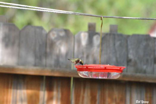 18May2013_1_Backyard-Blackchinned-Hummingbird_Drinking