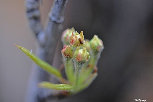 Pear Tree buds.