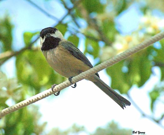 Blackcapped Chickadee. Boise April 2014