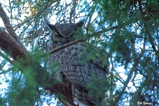 Horned Owl. East Boise April 2014