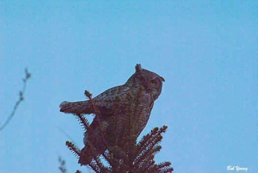 Horned Owl. East Boise April 2014