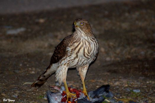 11Dec2014_1c_Backyard-Hawk_Coopers-With-Pigeon_Best